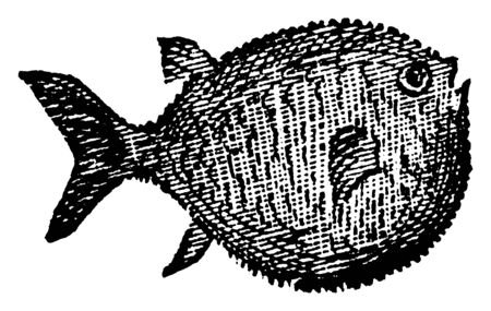 Globefish can swell out its body to a globular shape, vintage line drawing or engraving illustration. Illustration