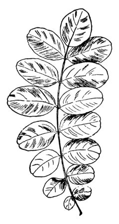 A picture showing the branch with Yellow Locust leaf, vintage line drawing or engraving illustration.