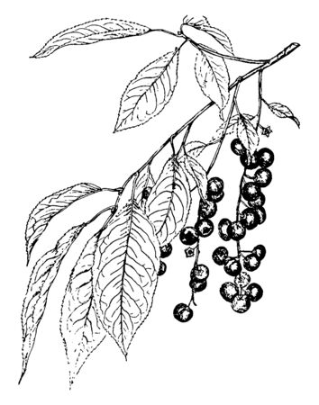 This is the branch of Wild Black Cherry. its has black cherry bending down. The leaves are needle-like, long, four-sided, curved, with a sharp point, vintage line drawing or engraving illustration.