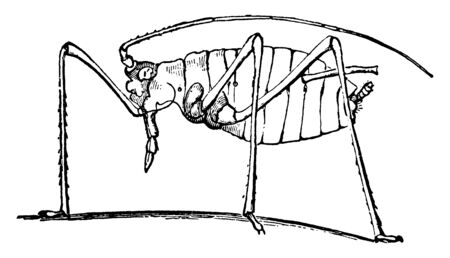 Geranium Plant Louse is a genus of small plant sucking insects, vintage line drawing or engraving illustration.