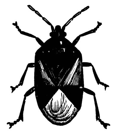Flowerbug is a predatory insect, vintage line drawing or engraving illustration.