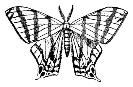 Geometrina in the larval condition have only four prolegs, vintage line drawing or engraving illustration.