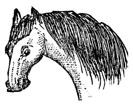 Mane in which the long hair on the neck of horses, vintage line drawing or engraving illustration. Çizim