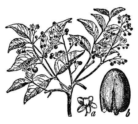 This is a large tree of the mahogany. There are small flower and buds on tree, vintage line drawing or engraving illustration.