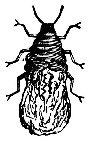 Schizoneura Langera in root form wingless, vintage line drawing or engraving illustration. Illusztráció