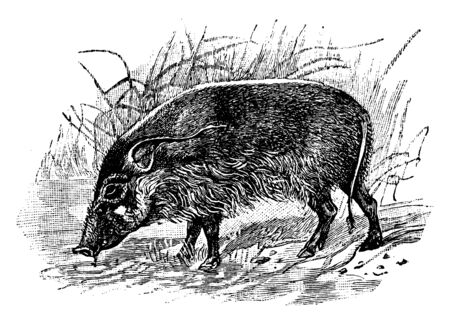 Red River Hog is a wild member of the pig family living in Africa, vintage line drawing or engraving illustration. Illustration