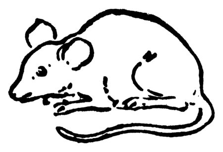 Mouse is a small rodent characteristically having a pointed snout small rounded ears, vintage line drawing or engraving illustration.