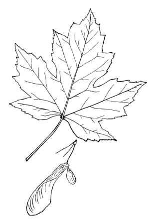 A picture of leaf of Genus Acer which are simple, opposite and edged deeply with the lobes unequally notched and toothed, vintage line drawing or engraving illustration.