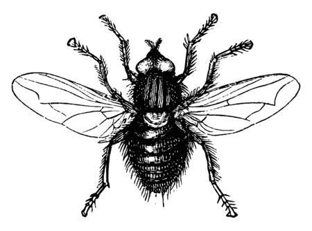 Fly is the insect of the order Diptera, vintage line drawing or engraving illustration.