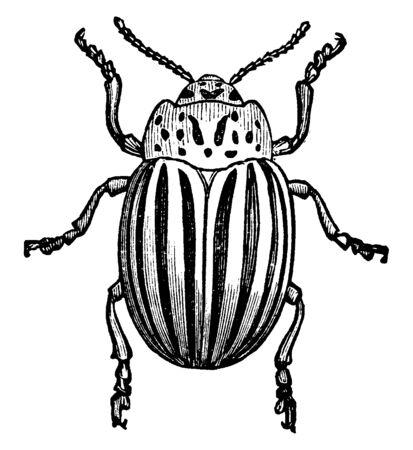 Kartoffelkäfer, auch bekannt als Colorado-Käfer, Vintage-Linien-Zeichnung oder Gravurillustration. Vektorgrafik