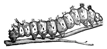 Emporer Moth Caterpillar which four are coral red in color and the hinder two are yellow, vintage line drawing or engraving illustration.
