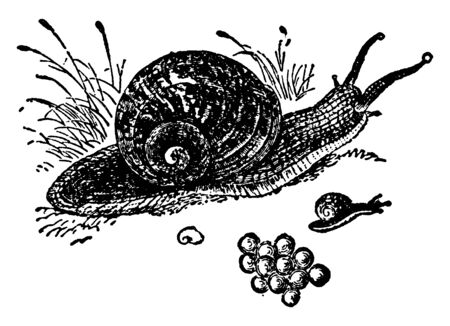 Snail is a common name loosely applied to shelled gastropods, vintage line drawing or engraving illustration.