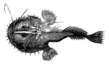 Angler is exceedingly voracious, vintage line drawing or engraving illustration.