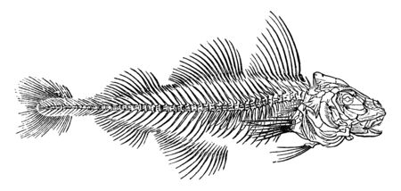 Haddock is a saltwater fish and found in the North Atlantic Ocean, vintage line drawing or engraving illustration.