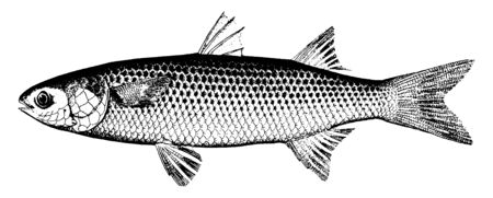 Mullet are caught in large quantities in Florida, vintage line drawing or engraving illustration.