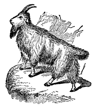 Rocky Mountain Goat is a sure footed climber commonly seen on cliffs and ice, vintage line drawing or engraving illustration. Ilustração