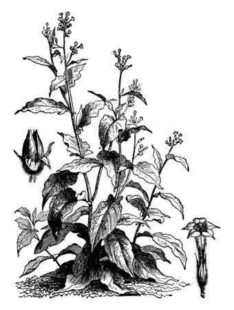 Tobaccos are cultivated for its leaves, which are used for smoking and chewing for snuff, vintage line drawing or engraving illustration.