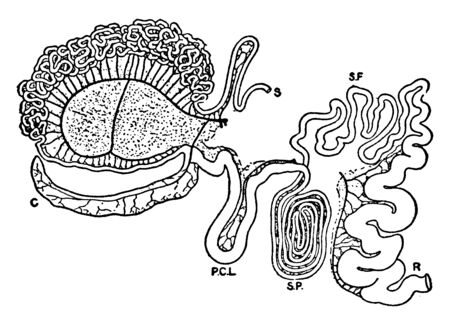 Intestinal Tract of Giraffe have four chambered stomachs as in all ruminants, vintage line drawing or engraving illustration.