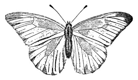 White Butterfly which is also known as the small cabbage white and in New Zealand, vintage line drawing or engraving illustration.