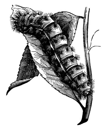 Larva is a distinct juvenile form many animals undergo before metamorphosis into adults, vintage line drawing or engraving illustration.