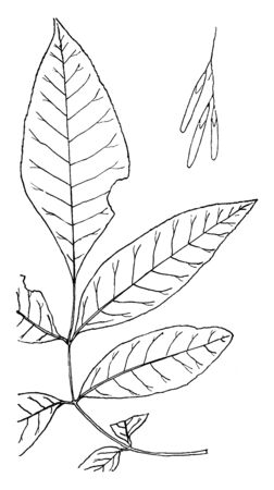 The genus is primarily distributed throughout the Northern Hemisphere. It includes several dozen species, some of which are valuable for their timber and beauty, vintage line drawing or engraving illustration.