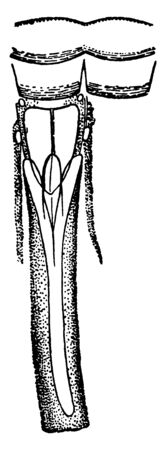 Sensory Organs of Insects which can also be found on the tarsi of moths, vintage line drawing or engraving illustration. Çizim