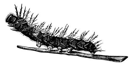 Elm Butterfly is larva of Vanessa antiopa species, vintage line drawing or engraving illustration. Ilustração