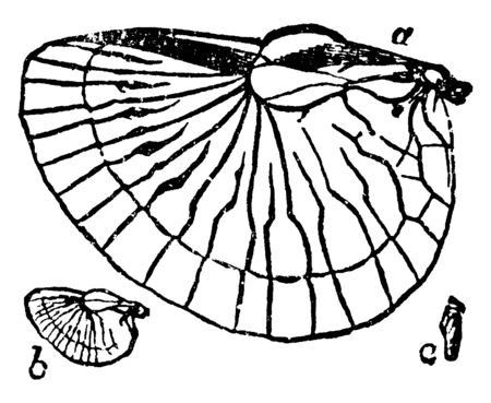 Earwig Wings which they always endeavour to reach the innermost recess, vintage line drawing or engraving illustration. Ilustração