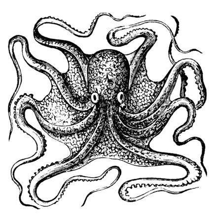 Octopus is a soft bodied eight armed mollusc of the order Octopoda, vintage line drawing or engraving illustration.