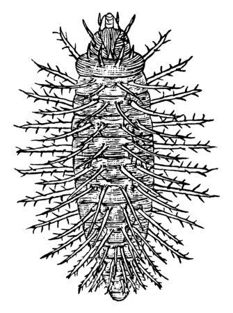 Kürbiskäfer ist eine große Familie von überwiegend saftsaugenden Insekten, Vintage-Linien-Zeichnung oder Gravurillustration.