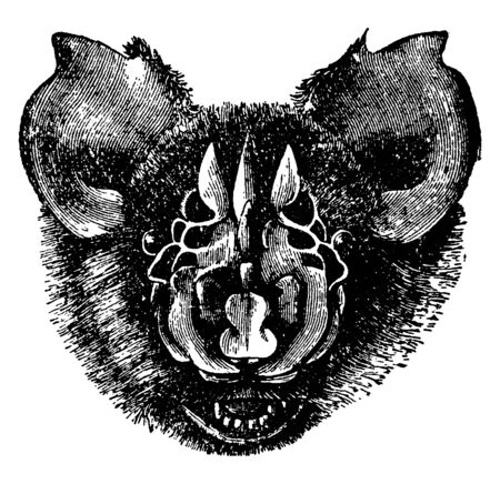 Triaenops Persicus is a species of bat in the genus Triaenops and it occurs in southwestern Pakistan, vintage line drawing or engraving illustration.