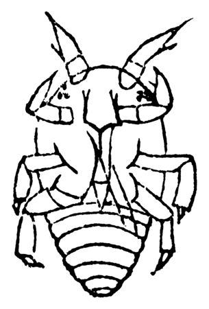 Grape Root Louse lives under ground on the roots, vintage line drawing or engraving illustration.
