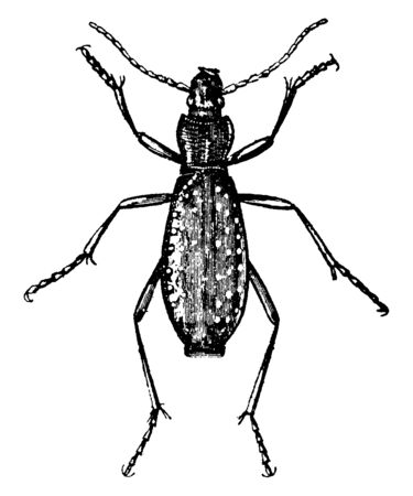 Ground Beetle one of the largest group of beetles, vintage line drawing or engraving illustration. Ilustração