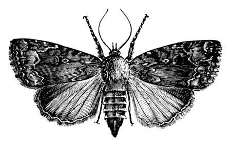 Grape Vine Moth whose larva feeds mostly on grape vines, vintage line drawing or engraving illustration. 向量圖像