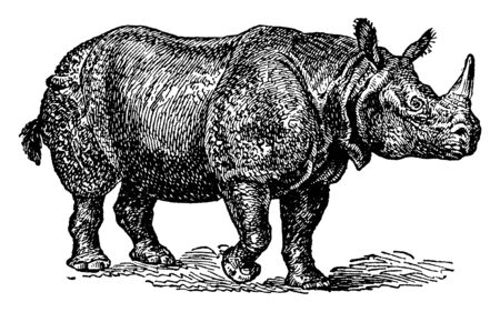 Rhinoceros Indicus with a single horn and well marked folds in the skin, vintage line drawing or engraving illustration.