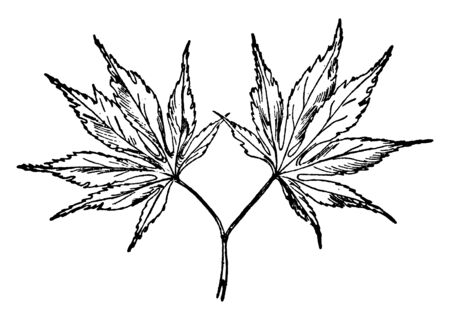 These are leaves of Japanese maple tree. It is species of woody plant. This is a deciduous tree, vintage line drawing or engraving illustration.