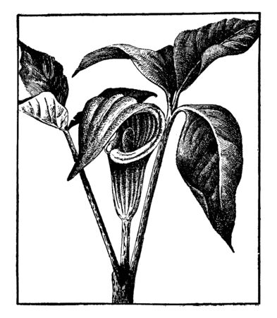The picture of a flowering plant called the Indian turnip also known as jack-in-the-pulpit, bog onion, brown dragon, vintage line drawing or engraving illustration.