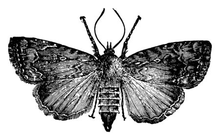 American Copper Underwing Moth of the family Noctuidae, vintage line drawing or engraving illustration.