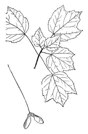 This is a branch of Genus Acer. Acer is a genus of trees. Seeds are enclosed, vintage line drawing or engraving illustration.