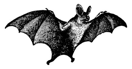 Vampire bats have very sharp front teeth that allow them to puncture their prey for the entry. They also have back teeth that are shorter and duller than most bat species. Wings are very long, vintage