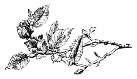 This is a flowering branch of a cucumber tree which is known as Magnolia Acuminata. In this picture two flowers on the tree, vintage line drawing or engraving illustration.