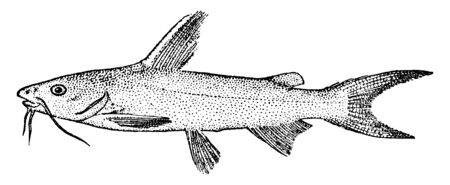 Saltwater Catfish is a species of sea catfish from the northwest Atlantic and Gulf of Mexico, vintage line drawing or engraving illustration.