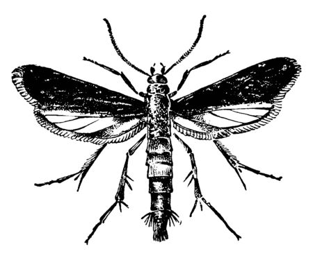 Peach Tree Borer which is native to North America, vintage line drawing or engraving illustration. 向量圖像