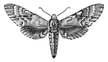 Sphinx Moth is best represented in the tropics, vintage line drawing or engraving illustration.