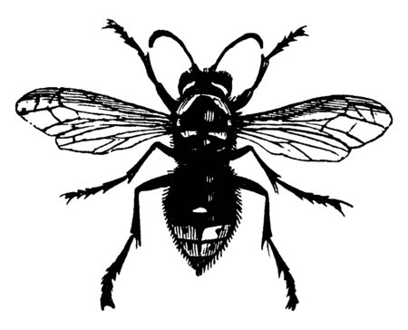 White faced Wasp is a eusocial wasp of the cosmopolitan family Vespidae, vintage line drawing or engraving illustration. Illusztráció