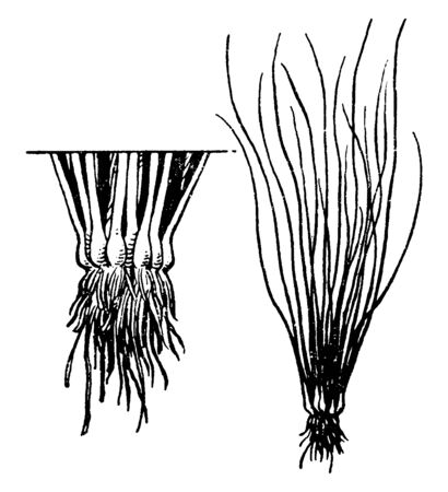 Plants in the family Isoetaceae, order Isoetales. Quillworts are spore-bearing lycophytes with grassy, spike like leaves and are native mostly to swampy, cooler parts of North America and Eurasia, vintage line drawing or engraving illustration.