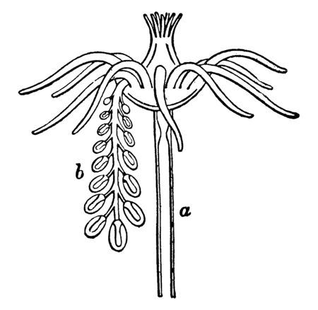 Tubularia Indivisa is a single hydriform person a bearing a stalk carrying numerous degenerate medusiform persons, vintage line drawing or engraving illustration.