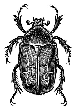 Rose Beetle of the Centonia genus, vintage line drawing or engraving illustration.