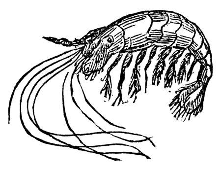 Prawn is highly prized for food, vintage line drawing or engraving illustration. Ilustrace