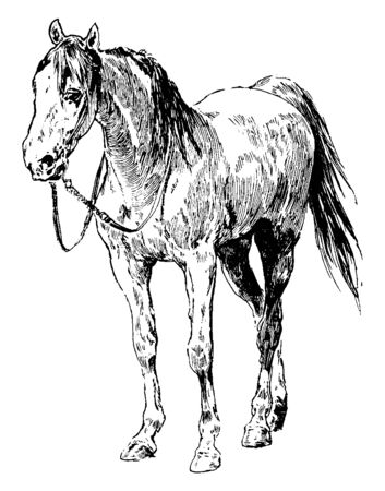 Horse is one of two extant subspecies of Equus ferus and it is an odd toed ungulate mammal belonging to the taxonomic family Equidae, vintage line drawing or engraving illustration. Illustration